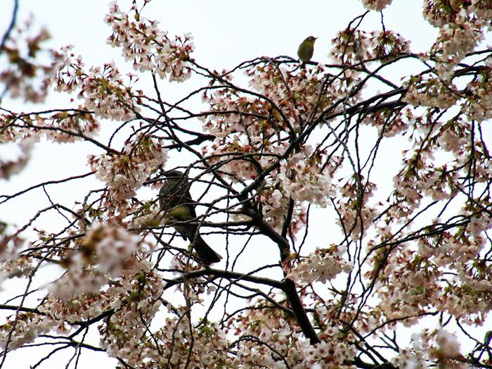 桜花と野鳥