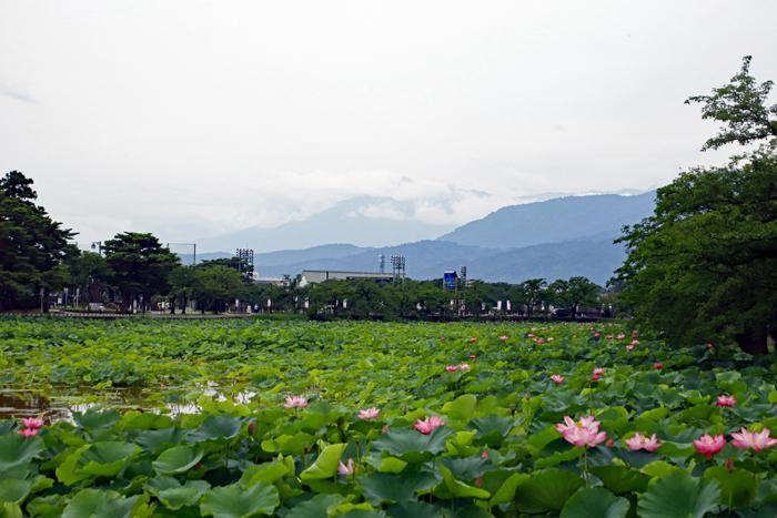高田城址公園観蓮会