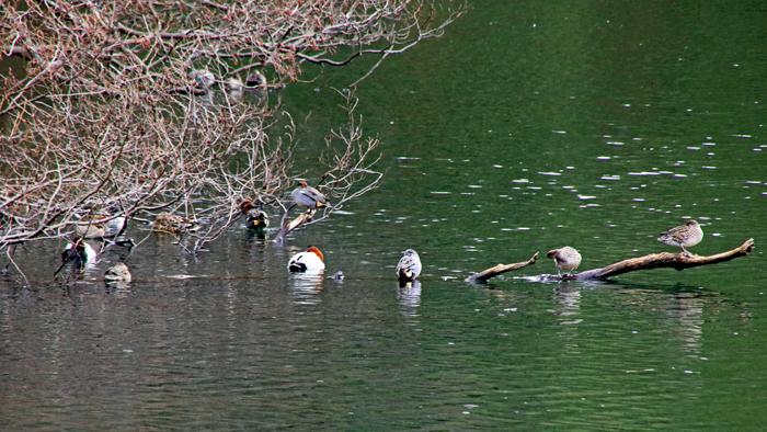 蓮池の水鳥