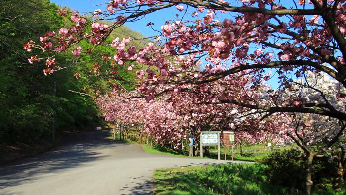 五智公園の桜