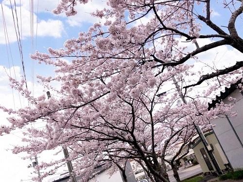 あじいく桜引き
