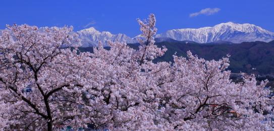伊那市街地の桜並木と白銀の仙丈ヶ岳と東駒ヶ岳