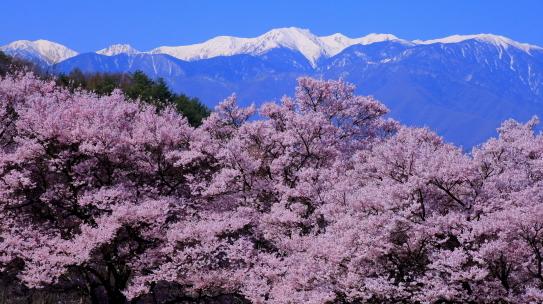 伊那市高遠町笠原の桜並木と残雪の西駒ヶ岳