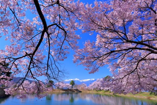 伊那市六道ノ堤の桜並木