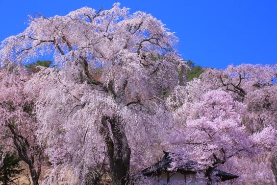 勝間薬師堂のしだれ桜