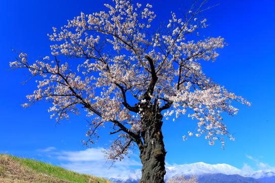 碧空に映える伊那市青島の桜並木と白銀の西駒ヶ岳