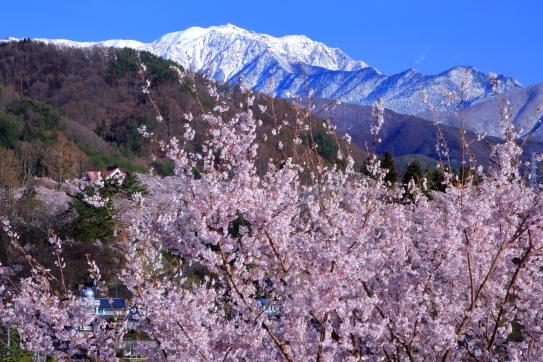 桜の街高遠から仙丈ヶ岳を望む