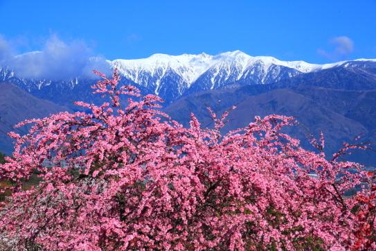花桃と残雪の宝剣岳