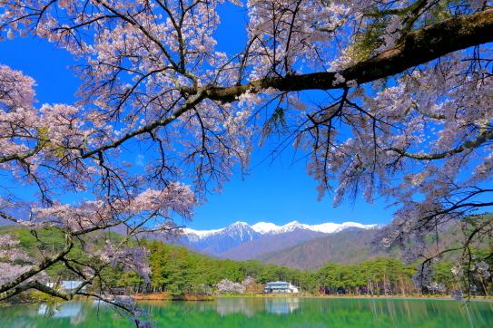 青空に桜花映える千人塚公園