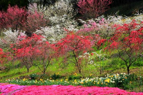 花桃と水仙と芝桜
