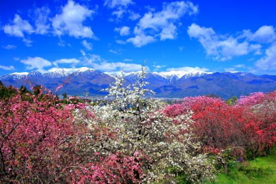 花桃の里・駒ヶ根市中沢から残雪の中央アルプス大観