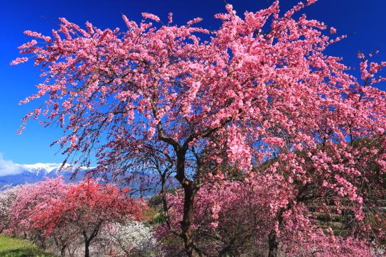花桃咲き競う山郷から遠く残雪の宝剣岳を望む