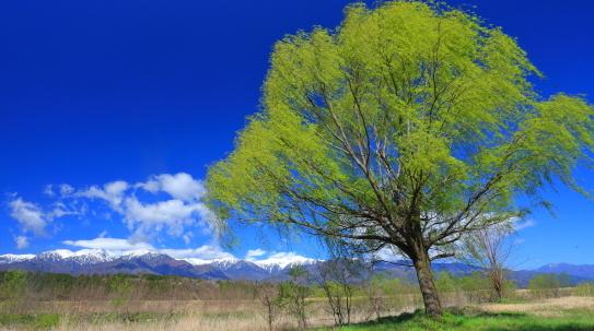 萌える若葉の柳と残雪の中央アルプス
