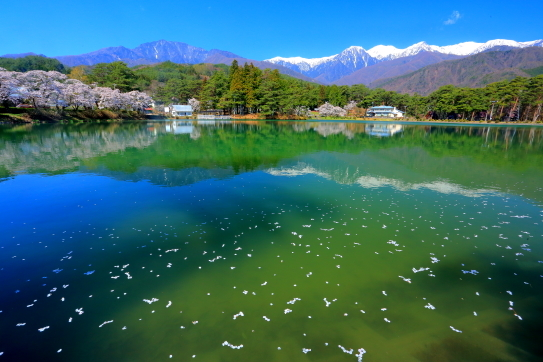 千人塚公園城ヶ池に映える桜と残雪の峰