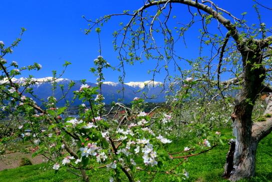 花咲くリンゴと残雪の中央アルプス