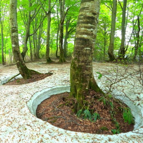 鍋倉山の残雪に映える若葉まとうブナ林