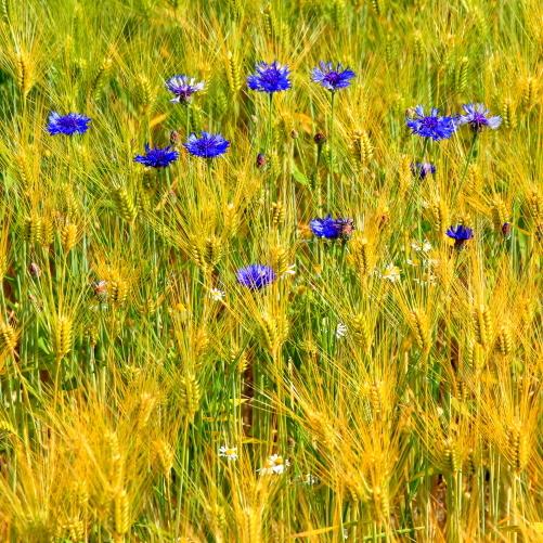 麦畑に矢車草