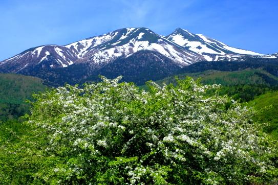 ズミの花咲く残雪の乗鞍岳