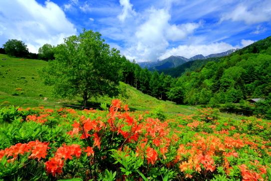 宮田高原の花咲くツツジ