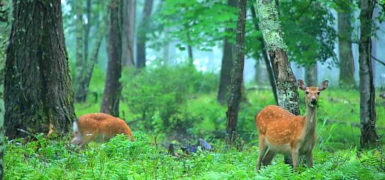雨の中に若草を噛むニホンジカ