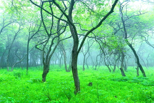 霧に霞むズミの森