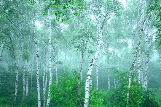 霧の立ち籠める八千穂高原白樺の森