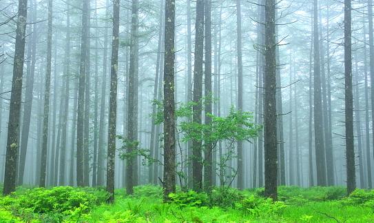 霧に煙るカラマツ林