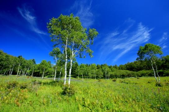 入傘湿原の白樺に青空の雲