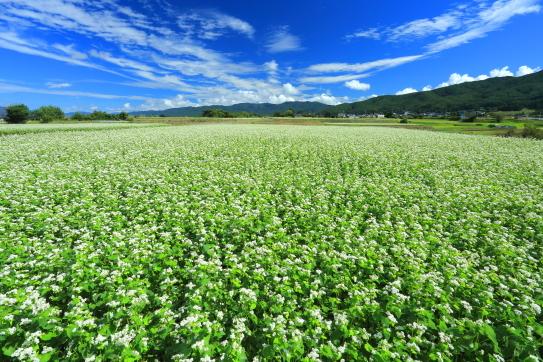 高遠そばの里に広がる蕎麦畑と雲