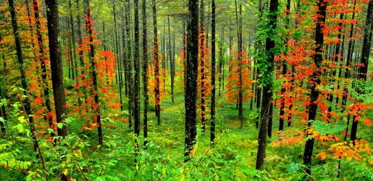 雨に打たれる黄葉の落葉松林
