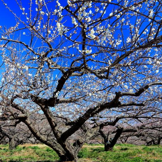 咲き競う秋間梅林の梅の花