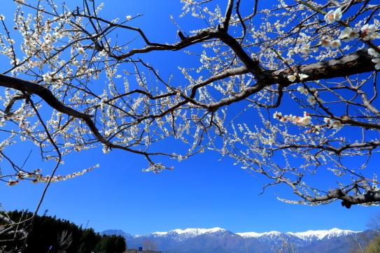 青空に映える梅と中央アルプス