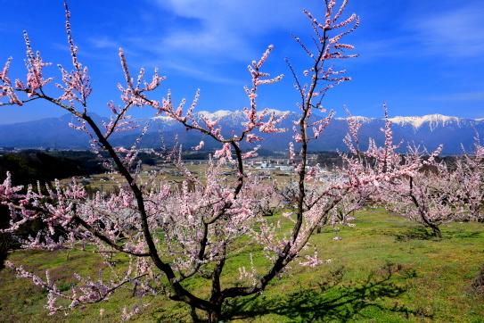 吉瀬の花咲く梅園と宝剣岳