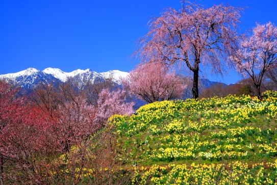 残雪の南駒ヶ岳と推薦と桜