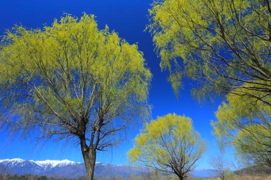 青空に映える柳の緑と宝剣岳