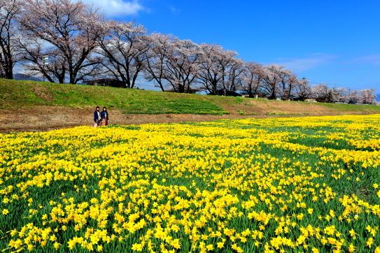 諏訪市上川の水仙と桜