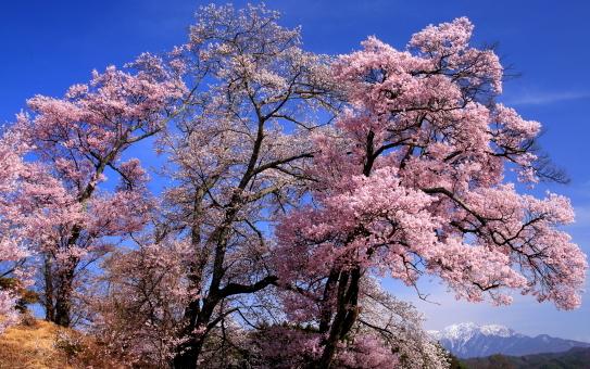 青空に映える桜と仙丈ヶ岳