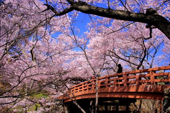 高遠城址公園桜雲橋を彩る桜