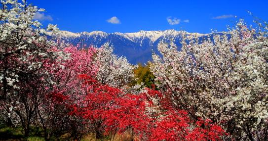 花桃と宝剣岳