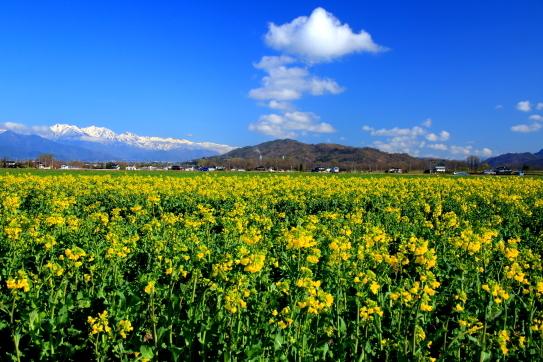 安曇野の菜の花畑と北アルプス