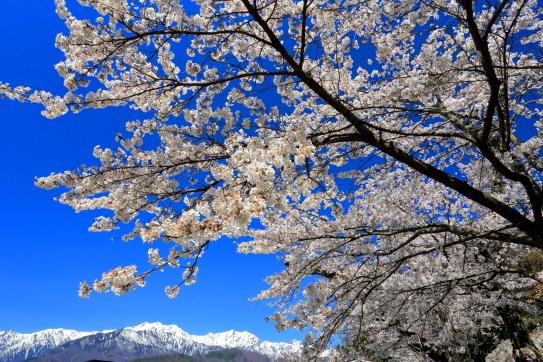 鹿島槍と蓮華岳を背後に咲き誘う桜