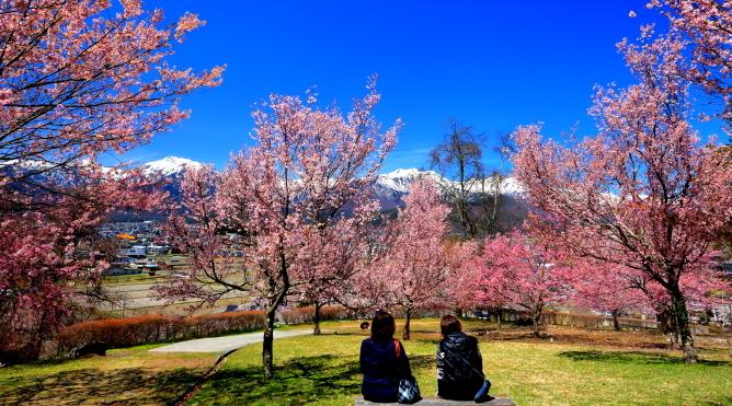 北アルプスを望む桜の公園