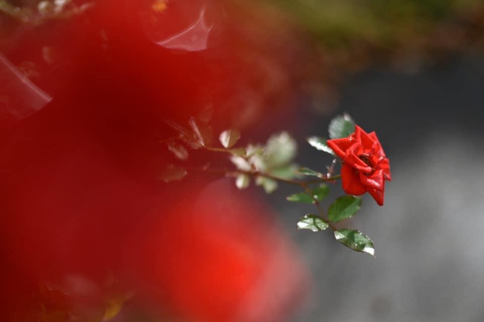 薔薇2021
