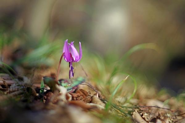 カタクリ開花