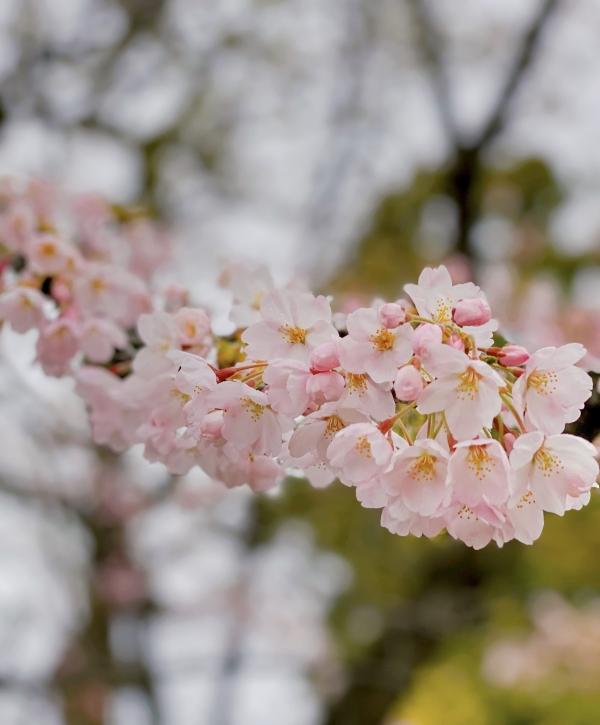 リーバー 桜の写真 Iさん撮影