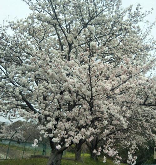 コロナ禍での楽しみ方 桜吹雪の下を歩く