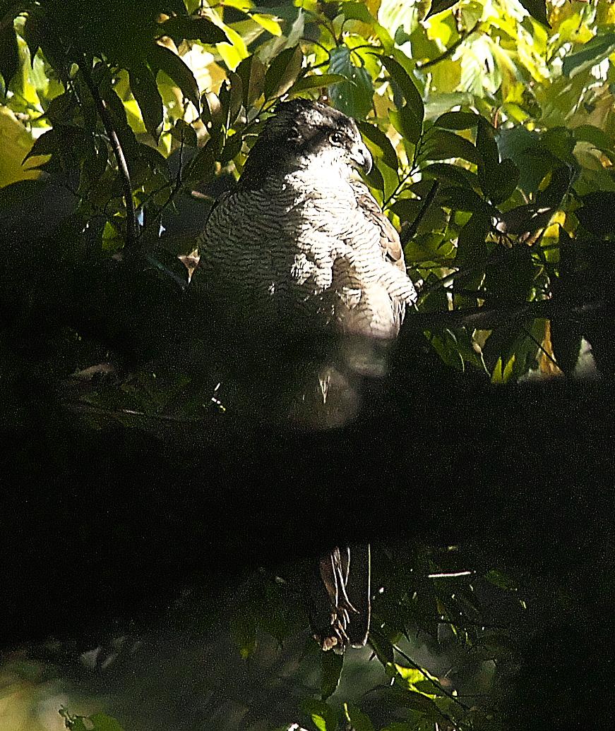 森に潜むオオタカ_7