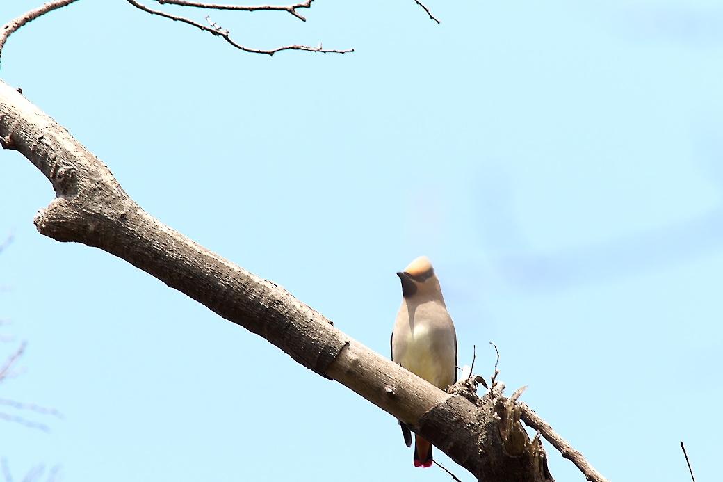1羽が撮りやすい枝に来た_1