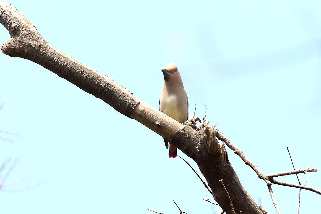 1羽が撮りやすい枝に来た_2