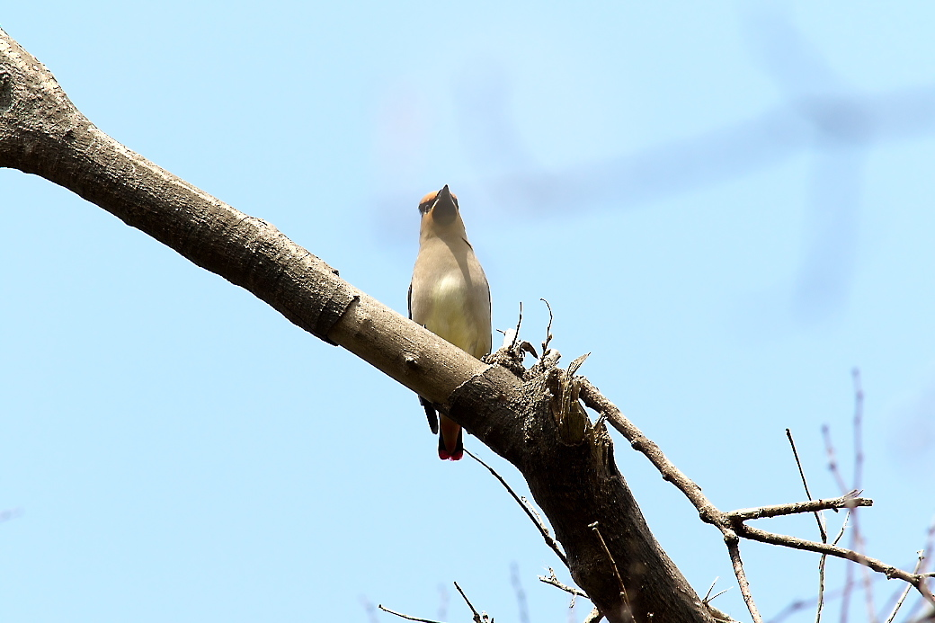 1羽が撮りやすい枝に来た_3